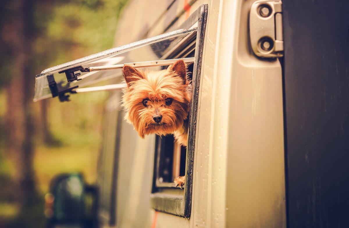 Hund schaut aus Wohnwagenfenster