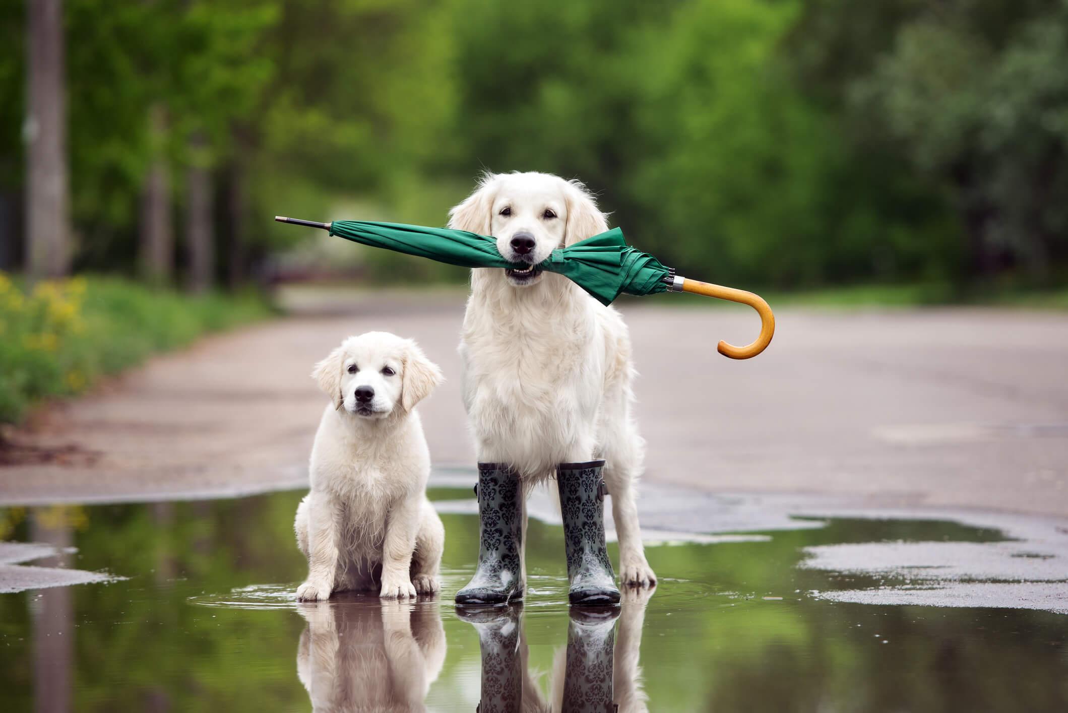 Bei uns hat es in letzter Zeit andauernd geregnet – daher die Inspiration für diesen Beitrag. Die Gassirunde soll natürlich trotzdem stattfinden und schlechtes Wetter macht vielen Fellnasen auch eigentlich nichts aus. Es gibt aber ein paar Dinge, die man im Herbst und Winter beachten sollte, wenn der Hundespaziergang trotz Regen Spaß machen und sicher sein soll.