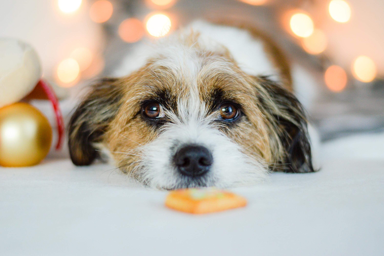 Der Hund hat an Weihnachten was Falsches gegessen und ist krank.