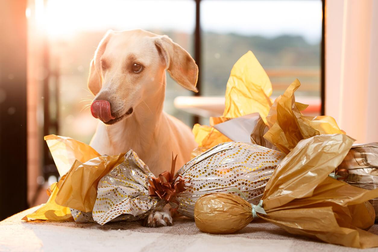 Obwohl der Hund die Schokolade genüsslich anschaut und sich bereits das Maul leckt, darf er sie nicht fressen. Schokolade ist für Hunde giftig. Warum, wollen wir in diesem Blogbeitrag erörtern.