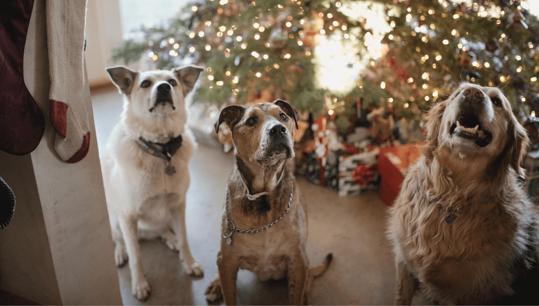 Drei Hunde warten schon ganz ungeduldig vor dem Christbaum auf die Bescherung! In unserem Blogpost haben wir die 20 besten Weihnachtsgeschenke Ideen für Hunde und Hundebesitzer für euch aufgelistet. © Unsplash.com