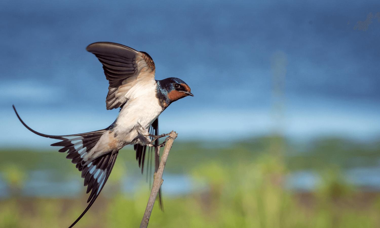 Die Schwalbe ist einer der Stars bei der Vogelbeobachtung - einem Hobby, das man trotz Corona ausüben kann, wenn man die derzeit geltenden Sicherheitsbestimmungen einhält. © Unsplash.com