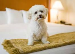 Small white dog sitting on a hotel bed