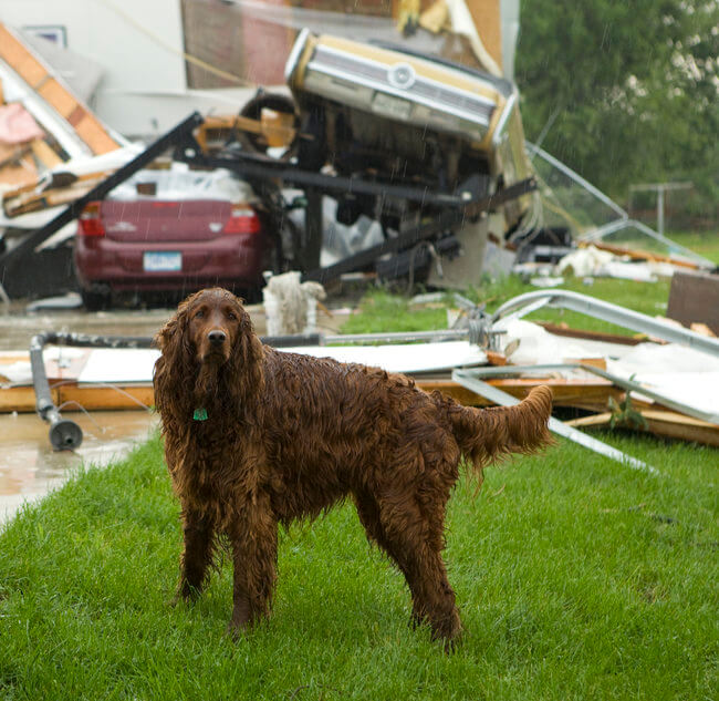 Irish setter in rain after tornado has destroyed home