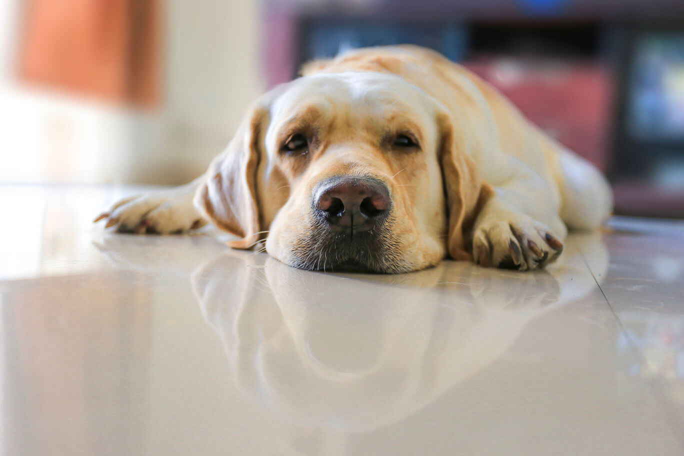 Dog keeping cool lying on tile