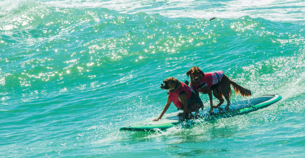 Two dogs riding ocean waves on a surfboard together at the beach in southern california