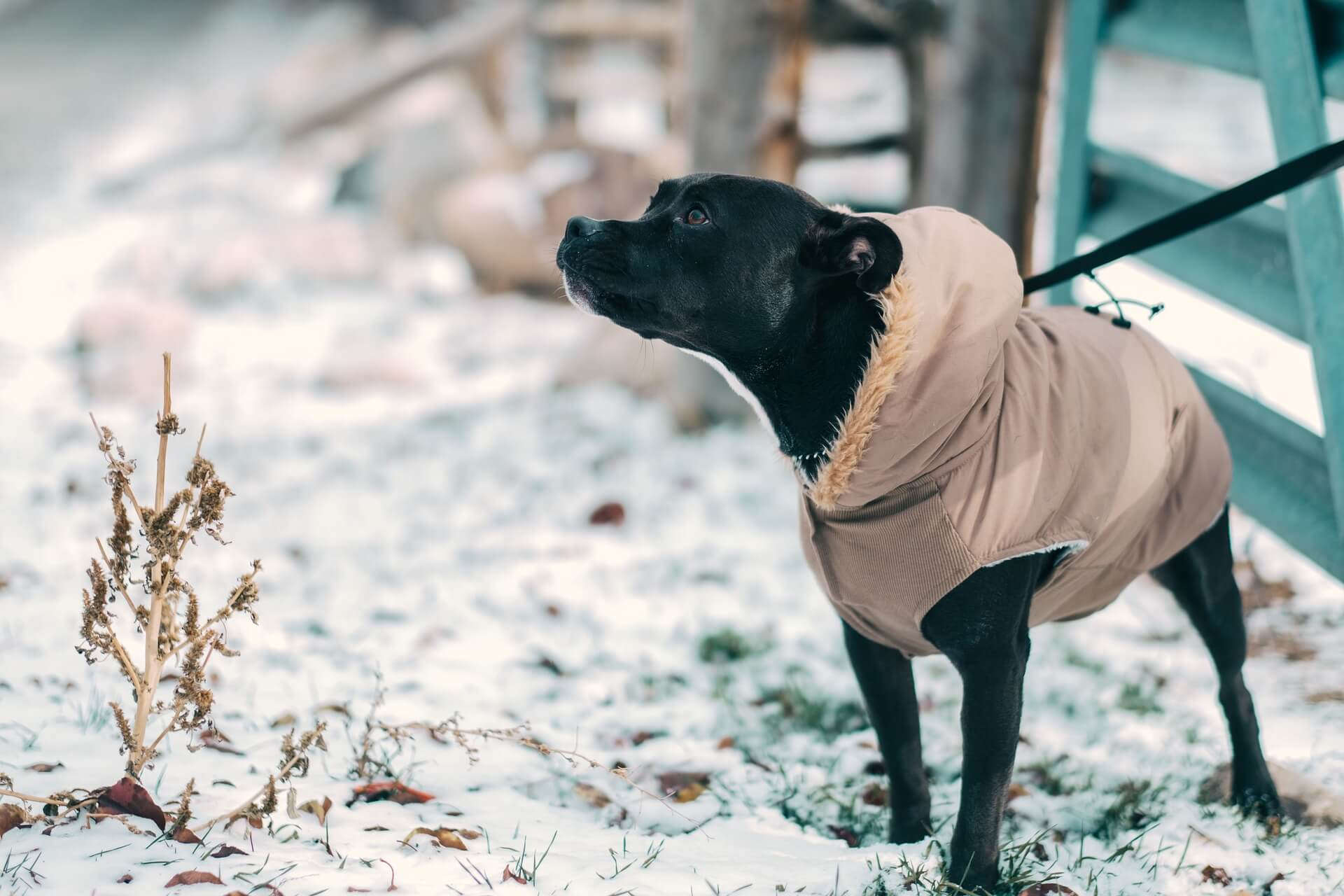 A black medium sized dog wearing a brown jacket and leash is standing looking off to the side in the snow.