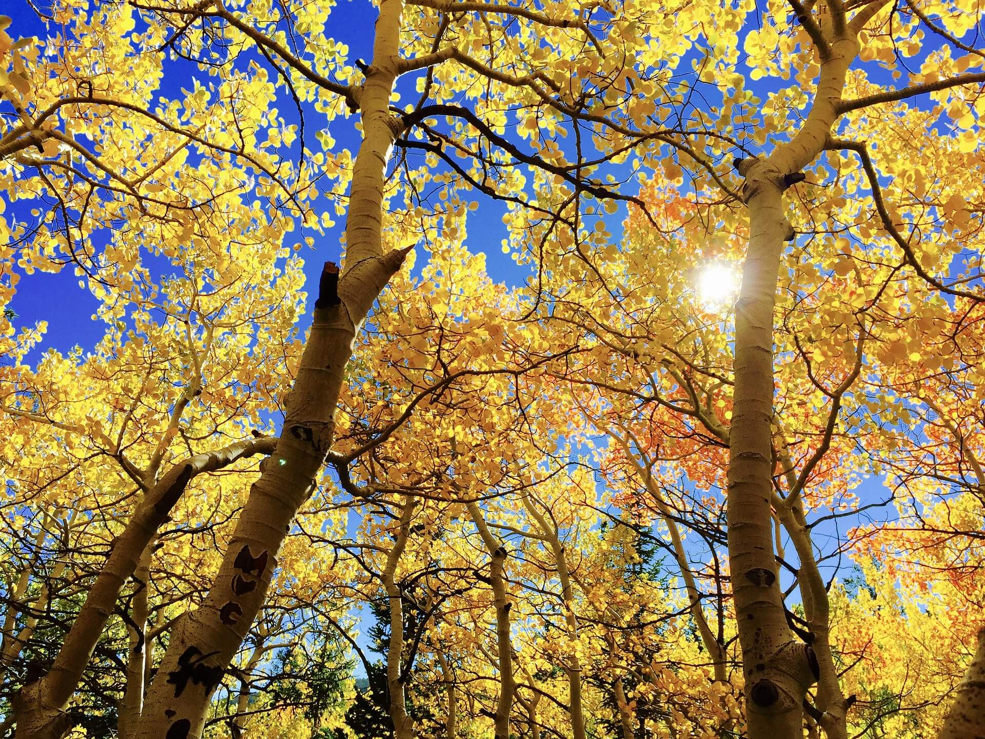 A shot from the forest floor of golden aspen leaves, blue sky and the sun shining through.