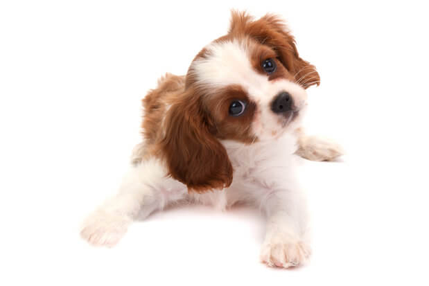 Cute cavalier king charles spaniel on white background