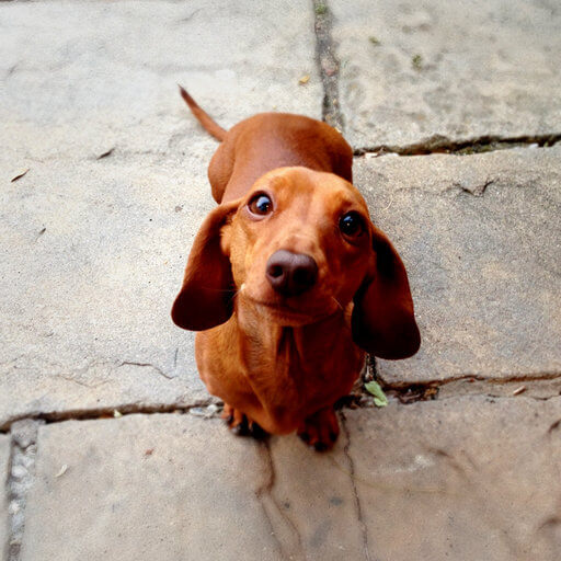 Obedient miniature dachshund sitting patiently and looking up to the camera