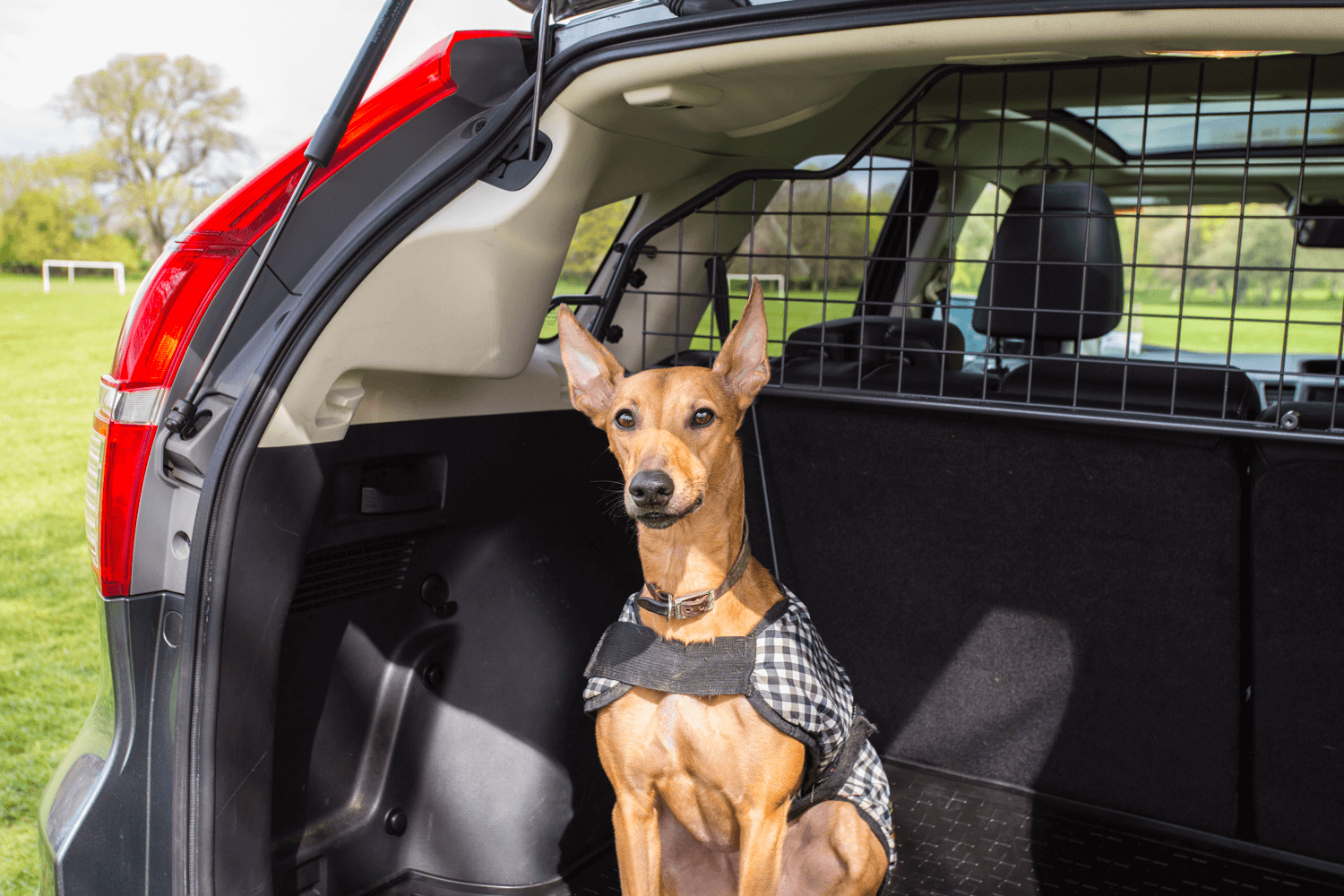 Mylo, a whippet, is sitting in the rear of a vehicle with a Travall Guard installed.